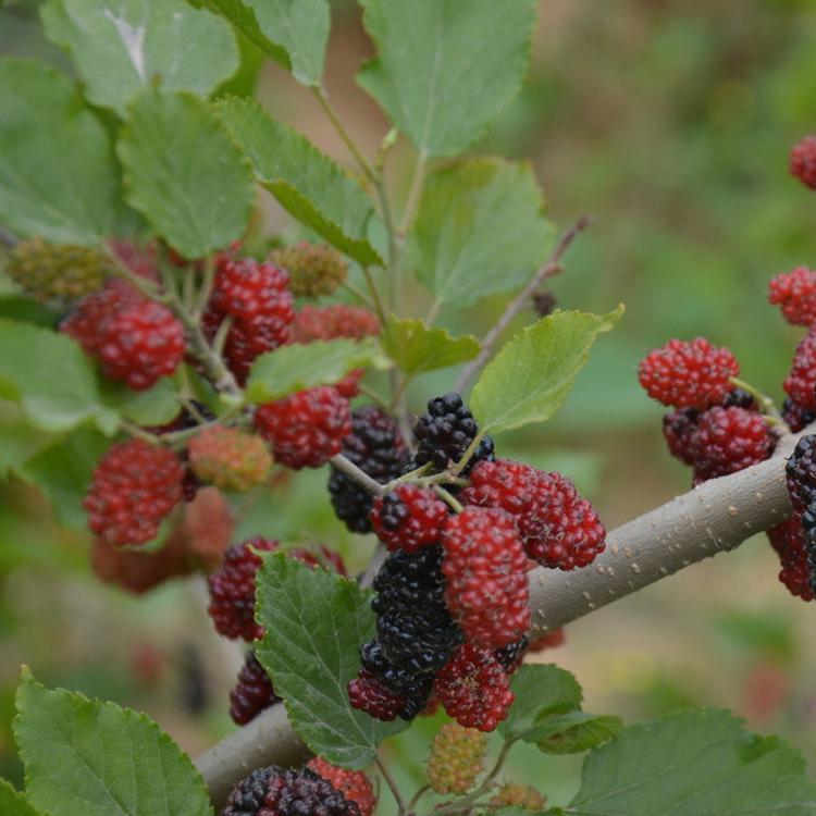 桑葚 重庆特产水果